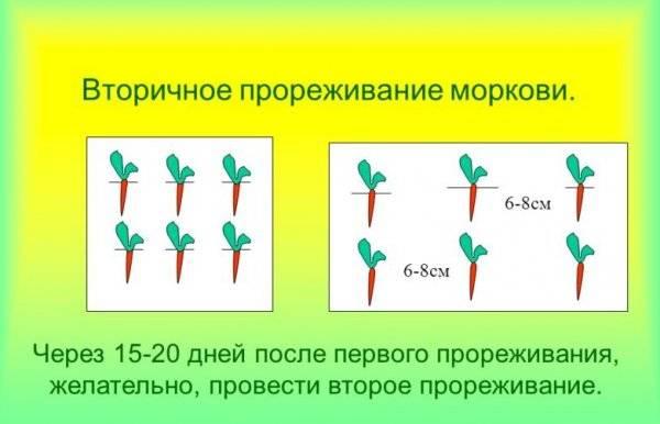 Как правильно проредить морковь в теплице и на грядке в открытом грунте: инструкция по прореживанию, с какой целью прореживают всходы