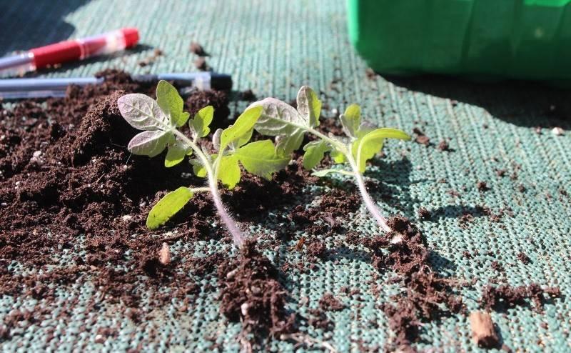 Когда пикировать помидоры после всходов: благоприятные дни для пикировки томатов в 2020 году по луне и регионам   спутниковые технологии