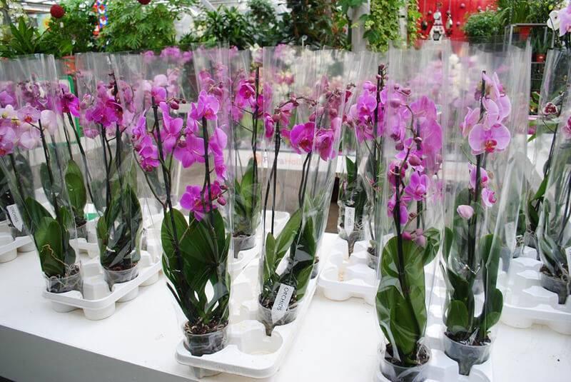 Узнайте, нужно ли пересаживать орхидею после покупки