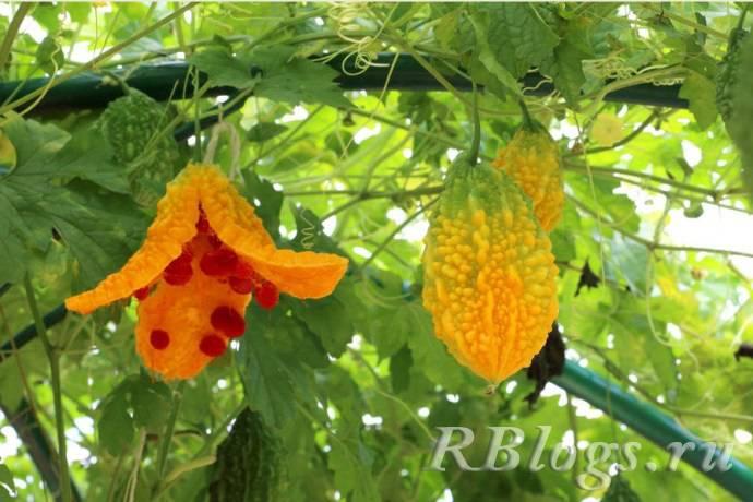 Необычные огурцы — экзотика жарких стран на обеденном столе. фото — ботаничка.ru