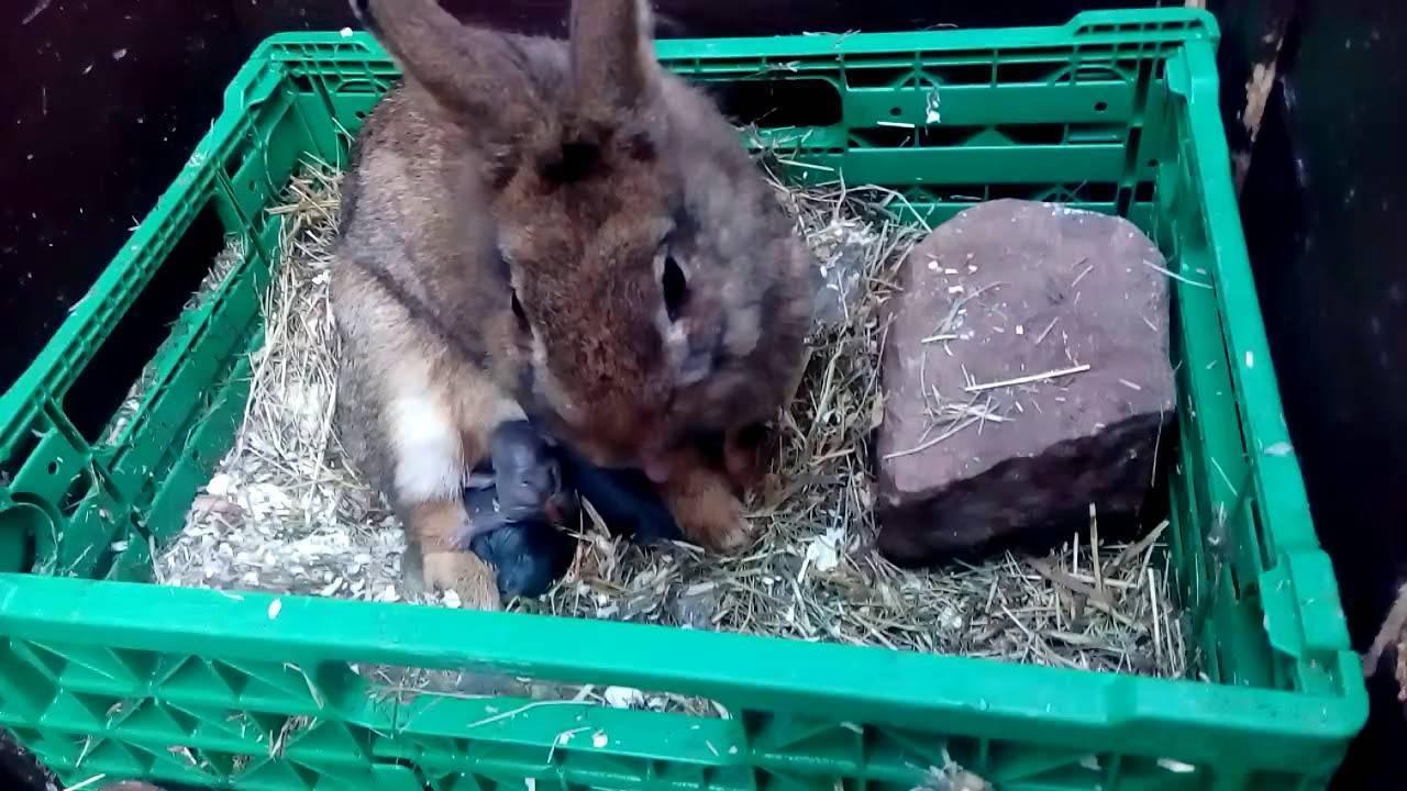 Особенности родов крольчихи в домашних условиях и возможные проблемы