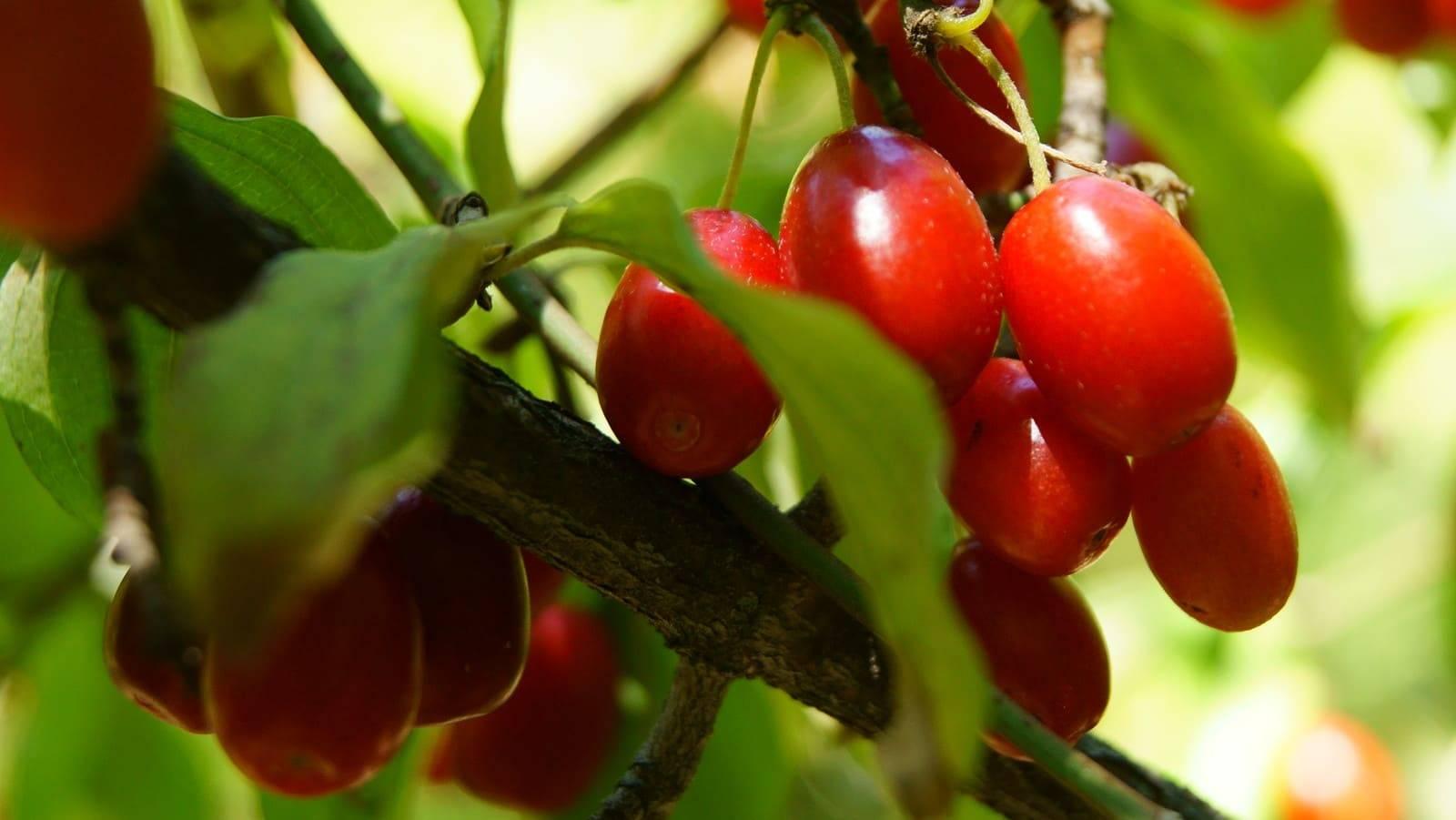 Выращивание кизила – посадка и уход за кизилом в открытом грунте, размножение и обрезка кизила | мир садоводства
