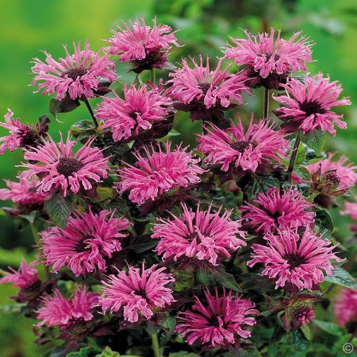 Цветы монарда: фото растения, посадка и уход при выращивании, сорта