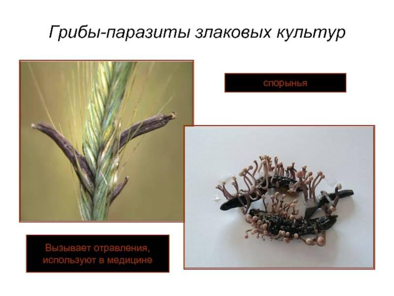§ 16. грибы-паразиты