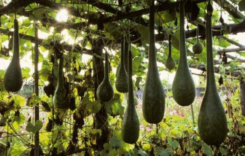 Декоративная тыква: 50 фото, ? виды и сорта, как ухаживать и использовать