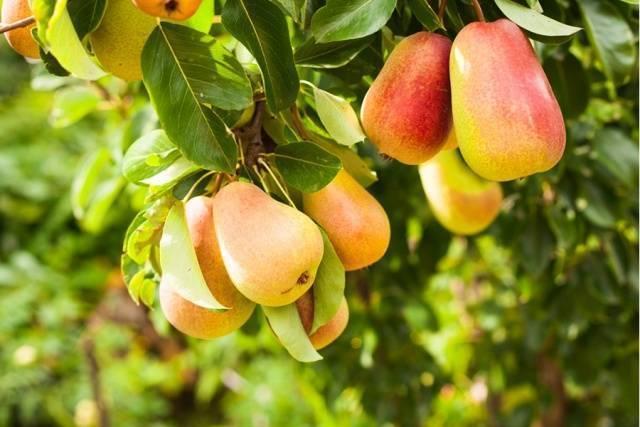 Груша лада - особенности сорта, секреты хорошего  урожая