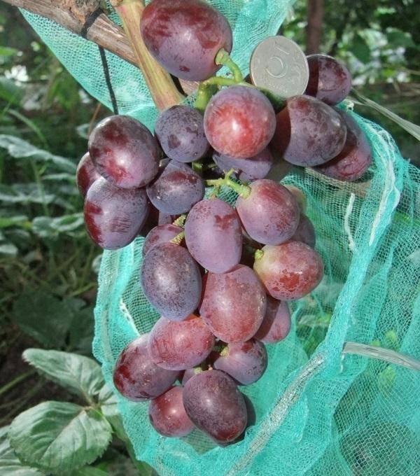 Виноград эверест описание гибридной формы, характеристика гроздей с фото и особенности выращивания