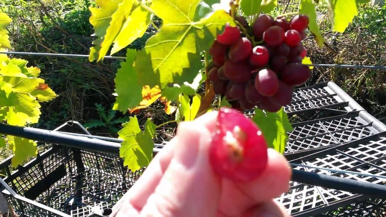 Виноград «юодупе»: описание сорта, фото и отзывы. основные его плюсы и минусы, характеристики и особенности выращивания и хранения в регионах
