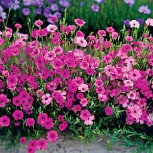 Лихнис (54 фото): описание многолетней зорьки, посадка и уход в открытом грунте, «везувий» и вискария, «розетта» и вид  хааге, выращивание из семян