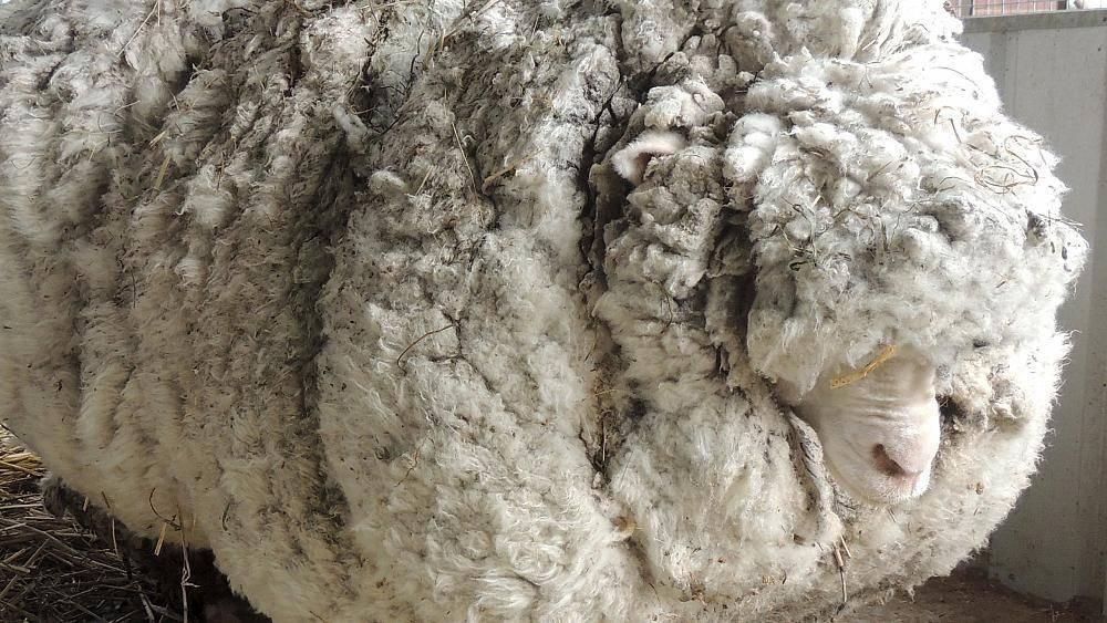 Как выделать шкуру овцы в домашних условиях — обработка и дубление от а до я