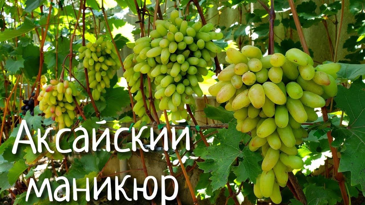 Виноград кишмиш аксайский: описание сорта с фото, отзывы, посадка и уход