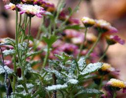 Уход за хризантемами осенью, подготовка к зиме. как укрыть цветы