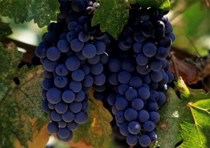 Неукрывные сорта винограда: амурские гибриды. выбираем сорта для посадки на дачу