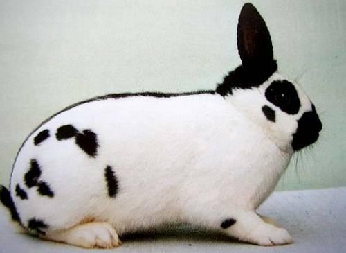 Кролики породы бабочка: описание, фото