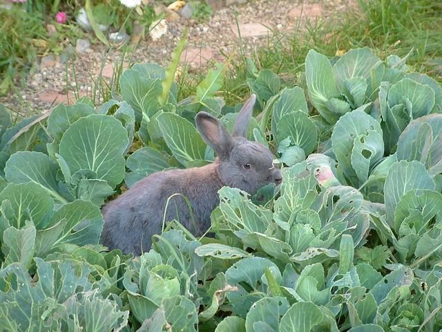 Можно ли давать кроликам капусту? – миф или реальность?