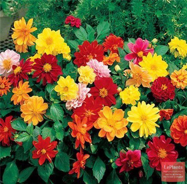 Георгины однолетние: выращивание и уход, фото цветов в саду георгины однолетние: выращивание и уход, фото цветов в саду