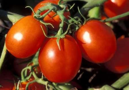 Низкорослые помидоры: лучшие сорта. фото, описание, преимущества