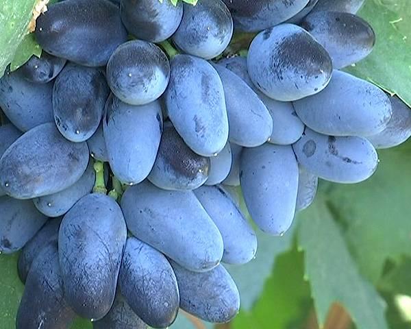 Описание винограда подарок ирине