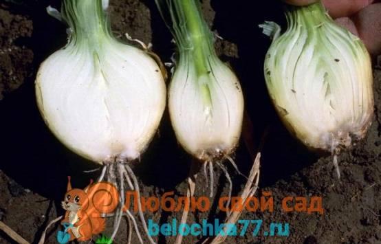 Болезни репчатого и зеленого лука: фото, описание и их лечение