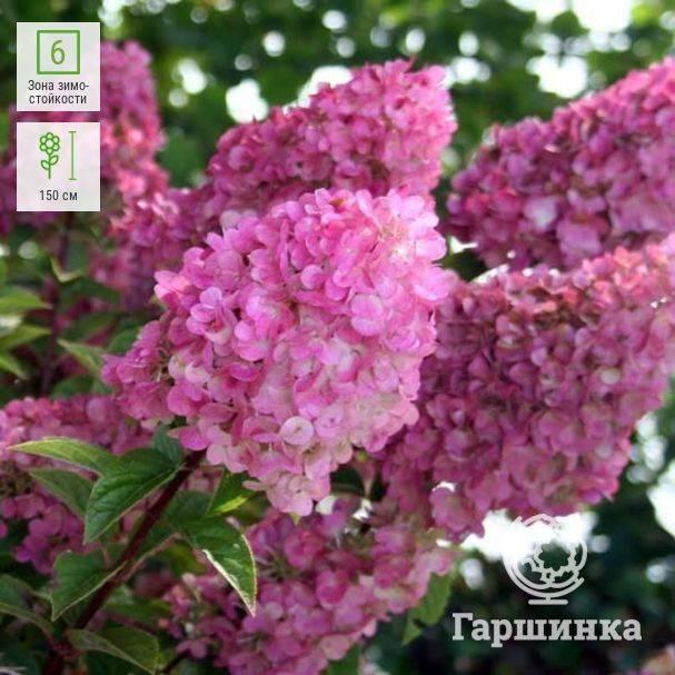 Гортензия сандей фрайз (sundae fraise) — описание сорта и его выращивание
