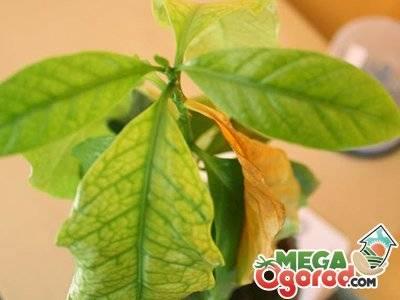Почему желтеют края и кончики листьев у цветов: основные причины заболеваний комнатных растений