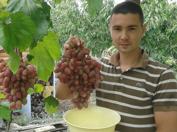 Виноград преображение: отзывы, фото, описание сорта, посадка и уход, выращивание, обрезка