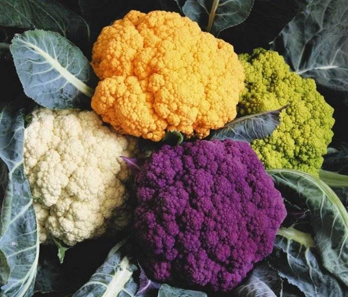 Лучшие сорта цветной капусты: описание и отличия