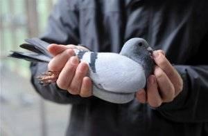 Как поймать голубя на улице голыми руками или в клетку