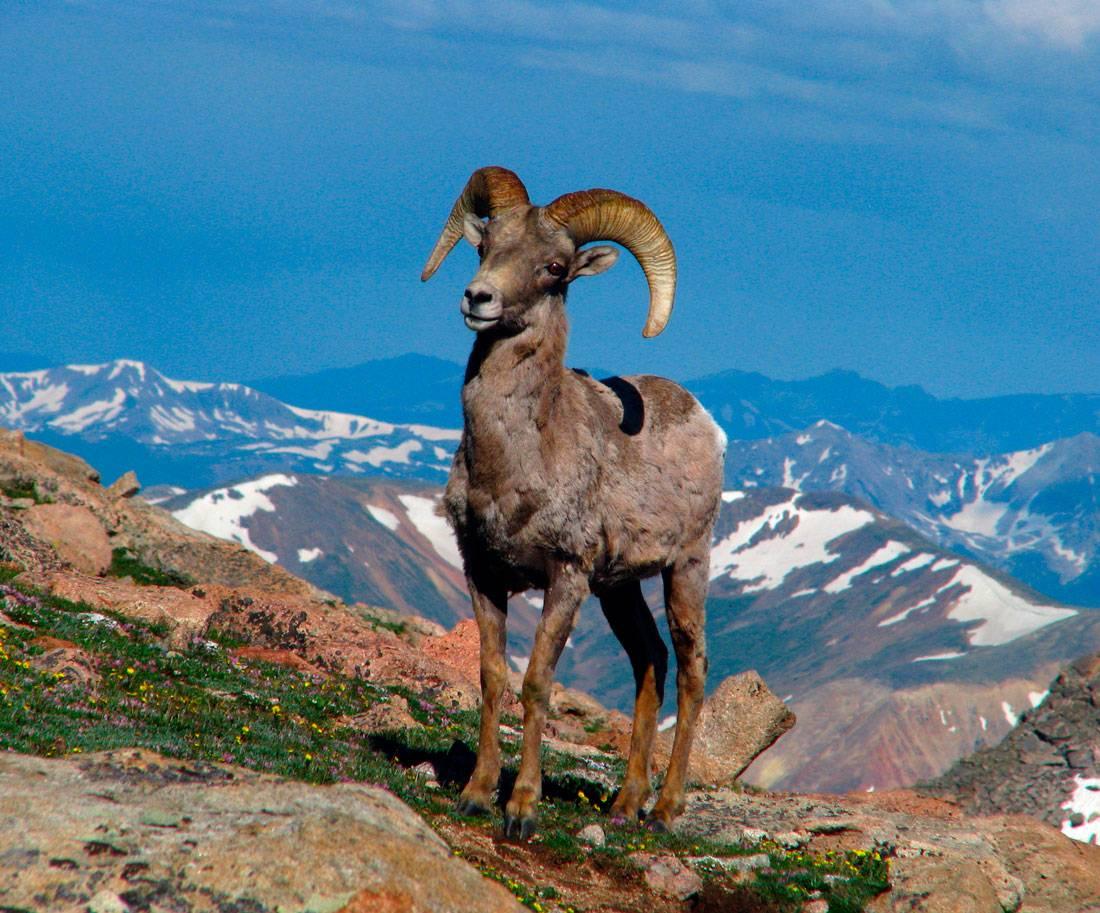 Горный баран. образ жизни и среда обитания горного барана