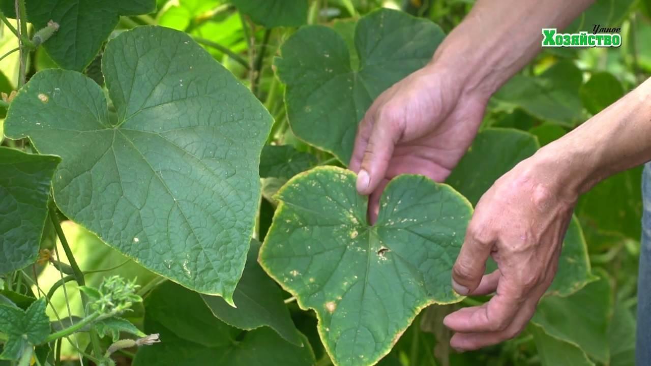 Желтеют листья у огурцов: что делать