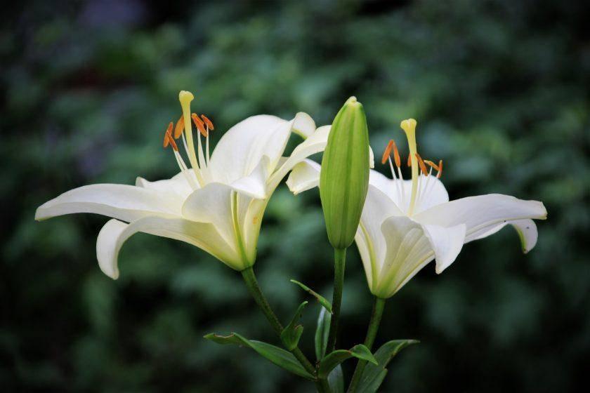 Как правильно пересаживать лилии весной на другое место?