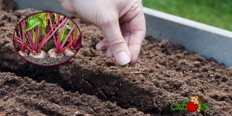 Посадка свеклы рассадой