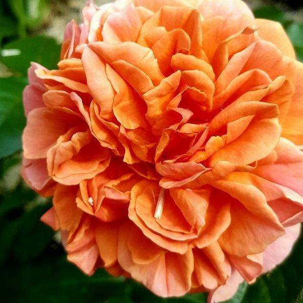 Роза чиппендейл, выращивание и уход, фото: изучаем со всех сторон