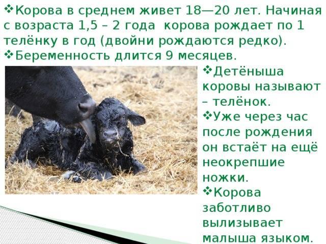 Способы определения беременности у коровы