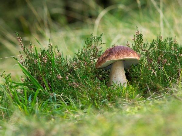 Белые грибы: когда собирать, где растут, польза и вред для организма