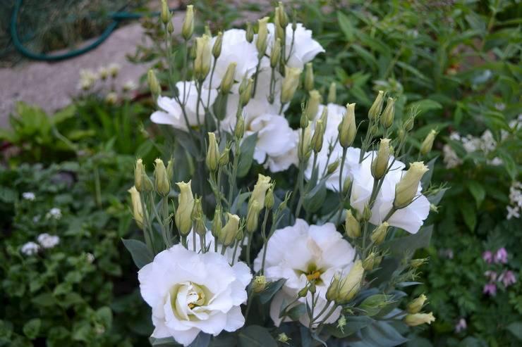 Эустома (64 фото): выращивание цветка лизиантус, похожего на розу, уход в открытом грунте, посадка на урале, в саду и на даче