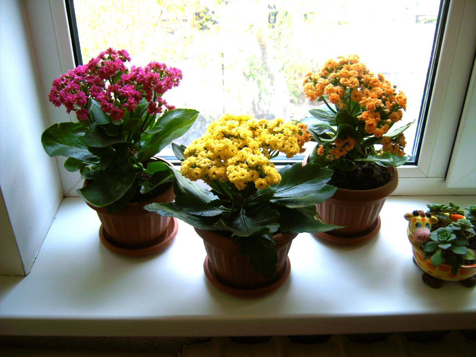 Каланхоэ цветущее: почему не цветет в домашних условиях? как заставить растение цвести? selo.guru — интернет портал о сельском хозяйстве