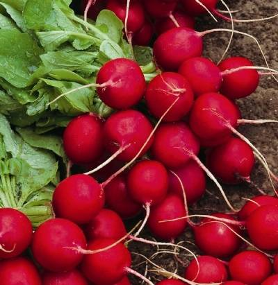 Редис селеста: описание и агротехника, характеристика сорта + фото и отзывы