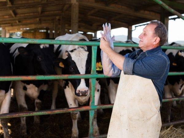Искусственное осеменение коров – способы оплодотворения крс 2021