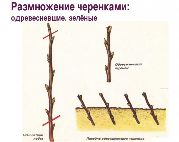 Как ухаживать за грушей весной и не только, как цветет, на какой год плодоносит, размножение, полив и прочий уход