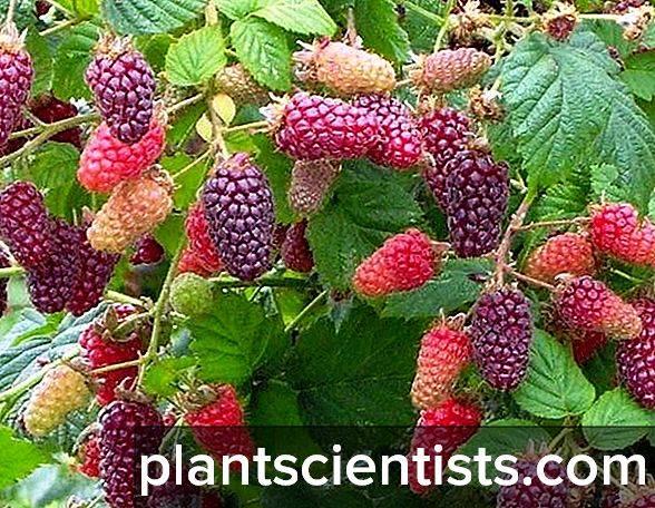 Ежемалина – что это за ягода, особенности и основные правила посадки