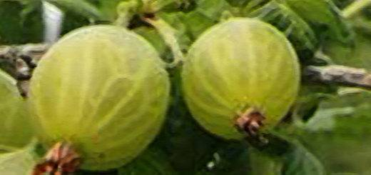 Крыжовник финик: топ советов по выращиванию + описание фото