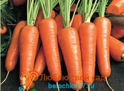 Как посеять морковь под зиму? когда и как сажать морковку осенью? — ботаничка.ru