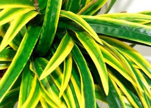Драцена сохнут листья, что делать? как спасти цветок