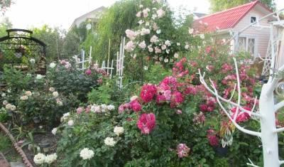 Варианты подкормок для садовых роз в августе, сентябре, признаки недостатка удобрений