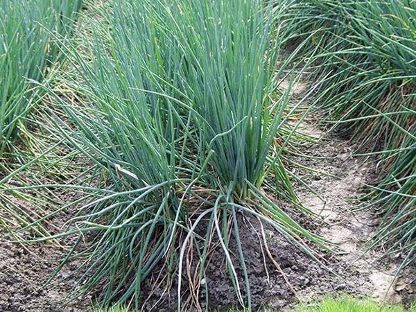 Особенности выращивания и ухода за луком батун лук батун: посадка и уход в открытом грунте