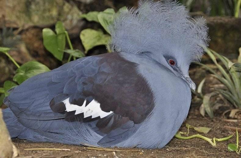 Характеристика венценосного голубя - агрономы