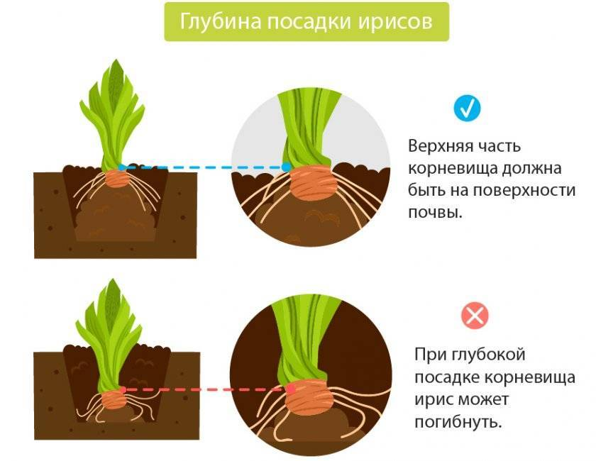 Как посадить ирисы весной, чтобы цветы прижились и зацвели вовремя