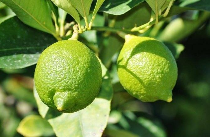 Чем отличается лайм от лимона по вкусу