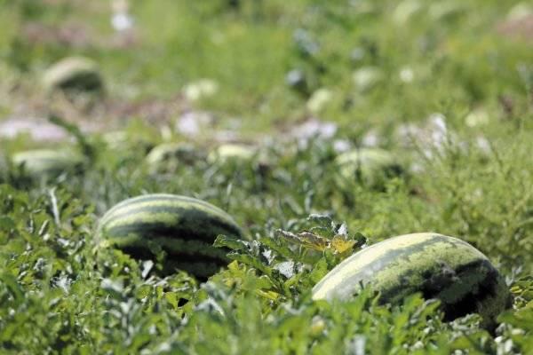 Посадка арбузов в открытый грунт, когда и как правильно делать